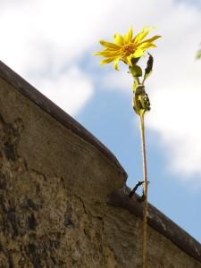 Slunečnice se dívá přes zeď