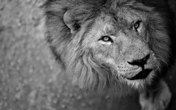 lion-1213182_640